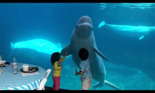 Beluga Whale Trying to Scare Kids