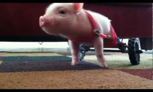 Chris P. Bacon - Pig in Wheelchair
