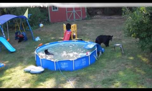 Family Of Bears Taking A Dip In The Pool