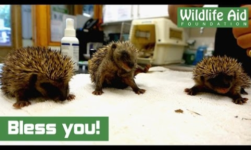 Adorable Sneezing Baby Hedgehogs