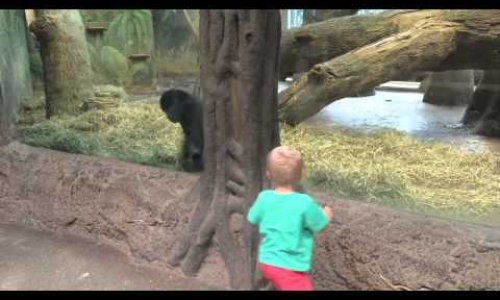 Baby Gorilla And Child Play Peek-A-Boo