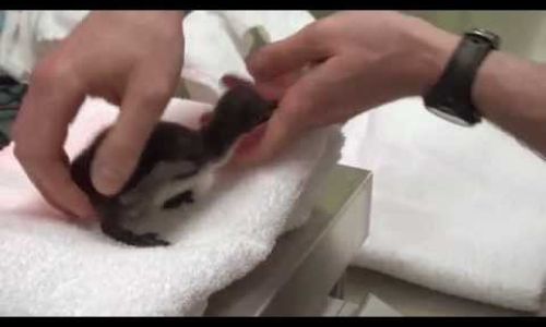 Tiny Newborn Penguin