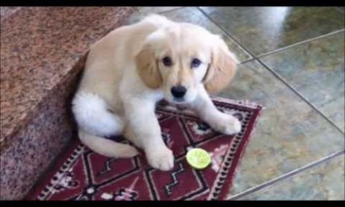 Puppy Tasting a Lime