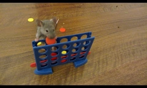 Super Smart Mice are Trained to do Amazing Tricks